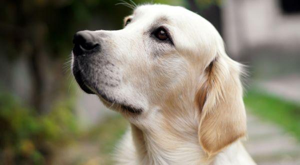 close-up-of-a-cute-golden-retriever-dog