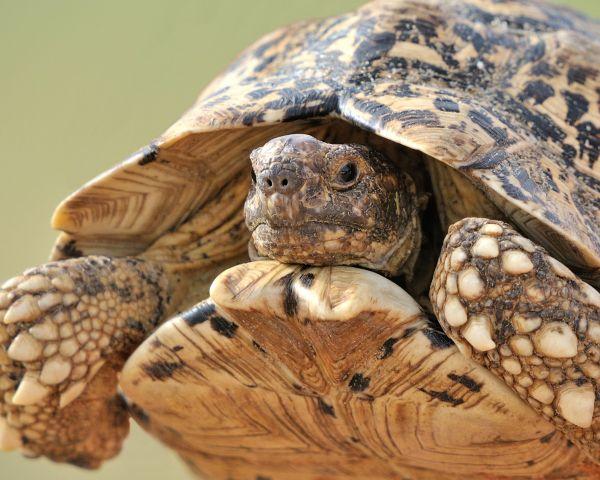 leopard-tortoise